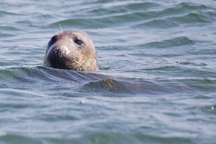 Common Seal, Walney Island