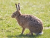 European Hare, Walney Island